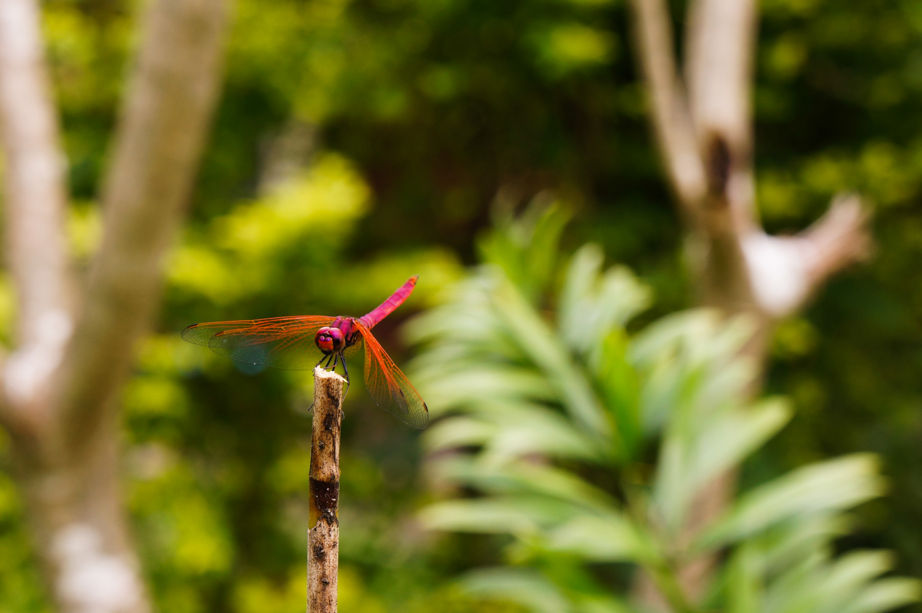 Dragonfly at Malee's garden