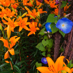 Morning glories and tiger lilies, oh my!