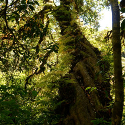 Ferns growing on a tremendous sprawling tree