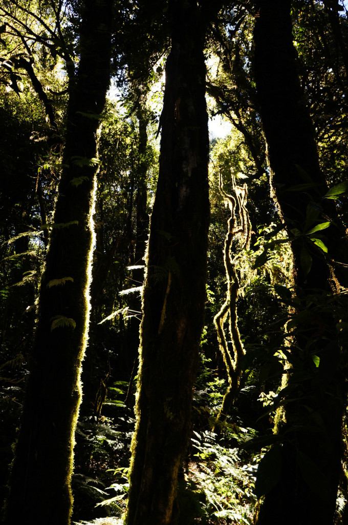 The light shining through the mossy forest near the peak of Doi Inthanon