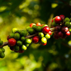 Closeup of coffee cherries at the Doi Kham royal project garden